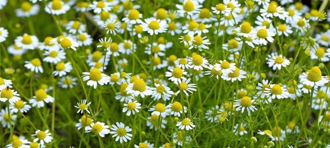 Gyulladást csökkentő gyógynövények, fűszernövények